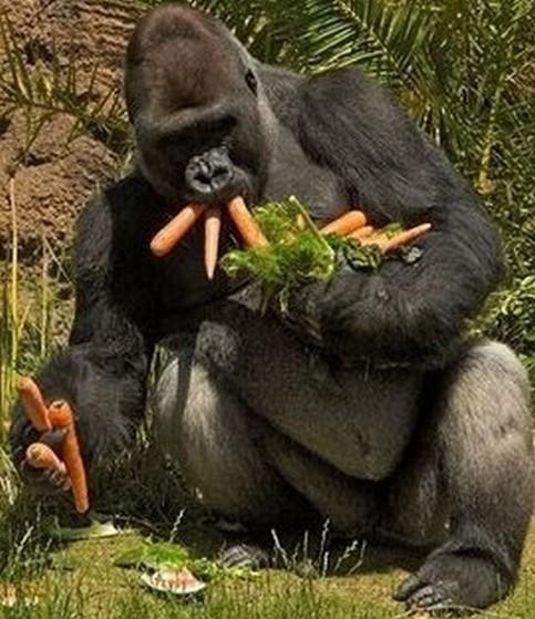 Ein Affen sammelt Karotten ein.