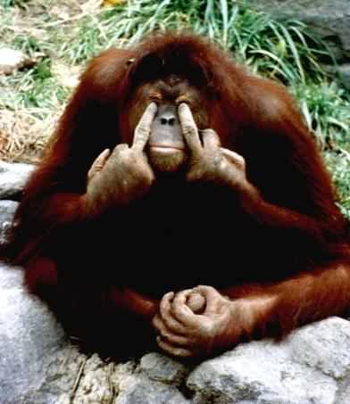 Ein Affe zeigt zwei Stinkefinger.