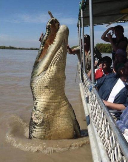 Ein Krokodil springt hoch aus dem Wasser eines Flusses. Es wird offensichtlich von einem Köder angelockt, der an einem Stock hält und von einem Mann übers Wasser gehalten wird.