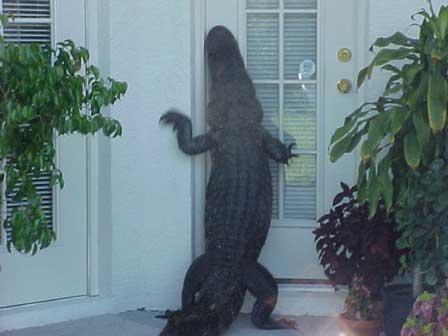 Ein Aligator (Krokodil) versucht, die Tür eines Hauses zu öffnen.