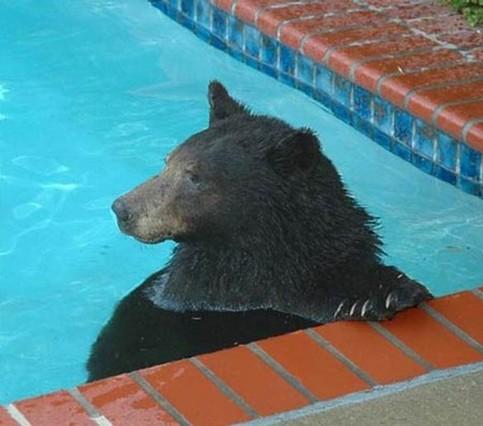 Ein Bär nimmt ein genüssliches Bad in einem Pool.