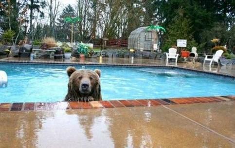 Ein Bär schaut aus einem Swimmingpool.