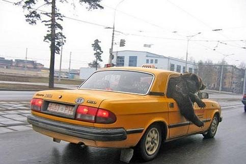 Ein Bär sitzt in einem osteuropäischen Taxi und schaut aus dem Fenster heraus.
