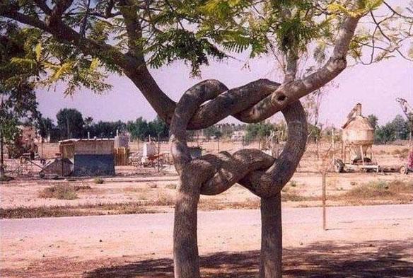 Zwei Bäume wurden miteinander verknotet.