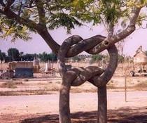 Verknotete Bäume