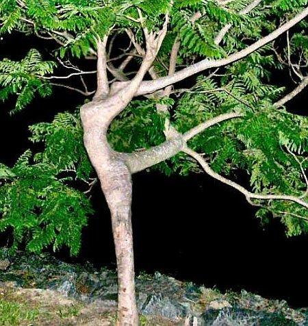 Ein Baum, der wie eine Tänzerin gewachsen ist.
