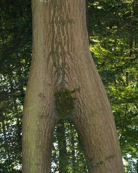 Ein mit Moos bewachsener Baum, der recht anzüglich anmutet.