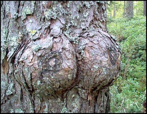 Ein Baumstamm, der wie zwei weibliche Brüste geformt ist.