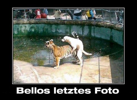 """Ein Foto aus einem Zoo. Ein Hund hat in einem Käfig einen Tiger besprungen. Darunter die Bildunterschrift """"Bellos letztes Foto"""""""