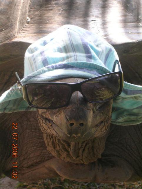 Eine Schildkröte trägt Mütze und Sonnenbrill. Die Schildkröte sieht so sehr cool aus.