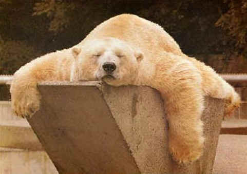 Ein Eisbär schläft gemütlich.