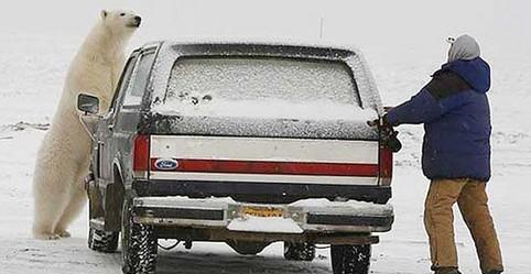 Ein Eisbär bedroht einen Mann, der sich hinter einem Auto versteckt.