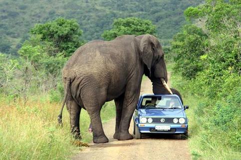 Ein Elefant bedrängt einen Golf.