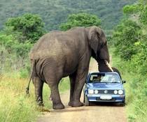Elefant und Golf