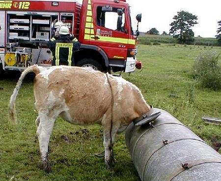 Eine Kuh ist mit ihrem Kopf in einem Behälter stecken geblieben.