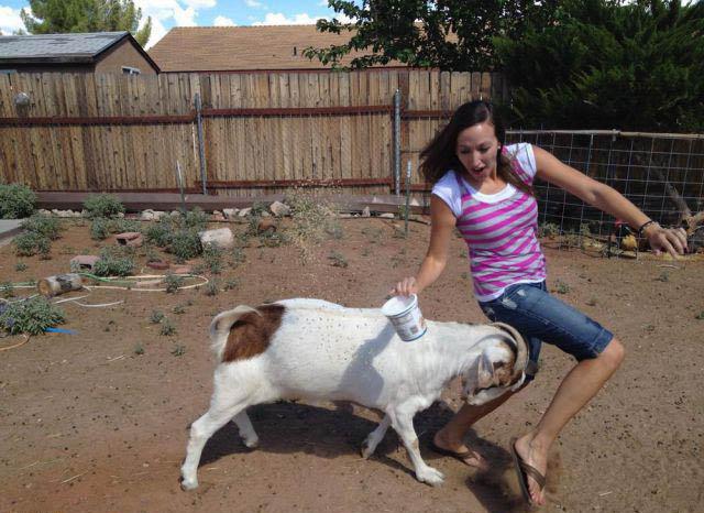 Eine junge Frau wird von einer Ziege mit ihren Hörnern gerammt.
