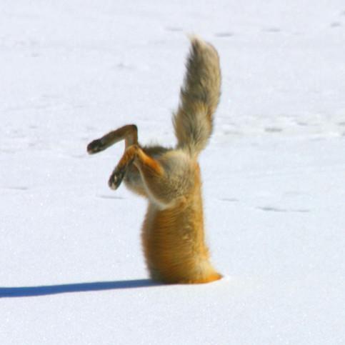 Ein Fuchs stecks den Kopf in den Schnee.
