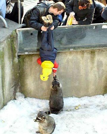 Ein Mann hält sein Kind an den Beinen in einen Käfig mit Waschbären, damit der sie füttern kann.