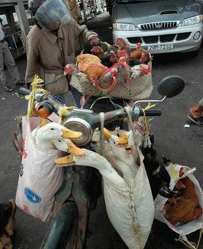 Ein Mofa ist mit Gänsen und Hühnern beladen.