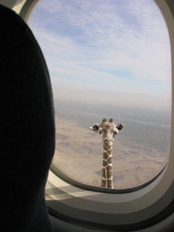 Eine Giraffe schaut in ein Flugzeugfenster.
