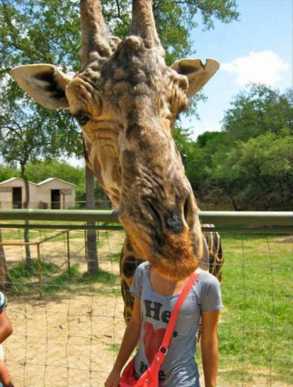 Eine Giraffe streckt Hals und Kopf aus ihrem Gehege heraus. Eine Frau steht so, dass es auf dem Foto aussieht, als hätte sie einen Giraffenkopf.