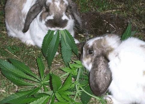 Zwei Hasen futtern Cannabis-Blätter.
