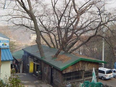 Ein Baum ist durch das Dach eines Hauses gewachsen.