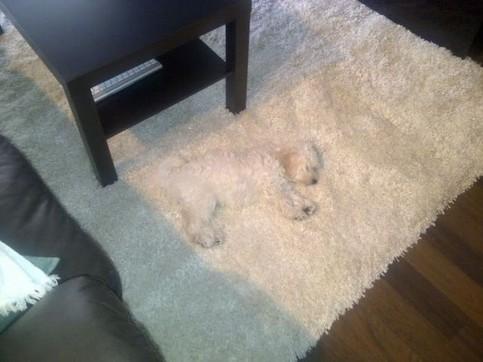 Auf einem hellen Teppich liegt ein Hund, den man aufgrund seines Fells kaum von dem Teppich unterscheiden kann.