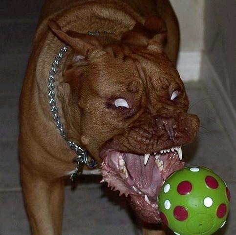 Ein Hund beisst mit einer grausamen Grimasse in einen Gummiball.