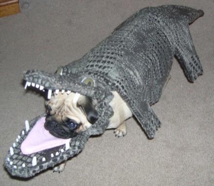 Ein Hund Mops hat sich im Maul eines Krokodils versteckt.