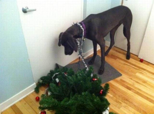 Ein Hund hat die Lichterkette eines Weihnachtsbaums um den Hals und so den Baum durch die Wohnung gezogen.