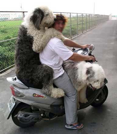 Zwei Hunde mit einem Mann auf einem Roller.