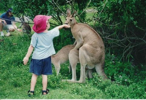 Ein Kind füttert kopulierende Kängurus.