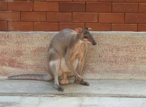 Ein Känguru mit hängenden Eiern.