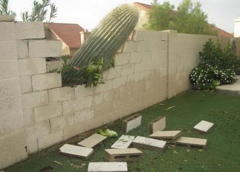 Ein großer Kaktus ist in einem Garten umgestürzt und hat dabei eine Lücke in eine Mauer gerissen.