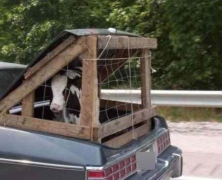 Ein Kalb wird im Kofferraum eines Autos transportiert, auf dem ein Käfig montiert wurde.