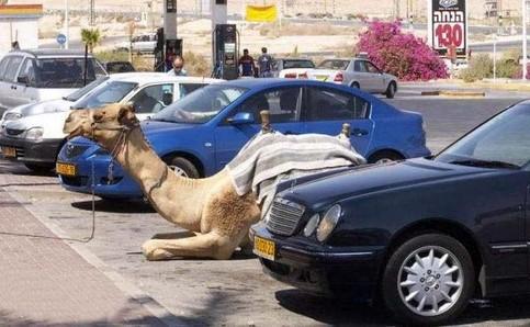 Ein Kamel liegt auf einem Parkplatz zwischen parkenden Autos.