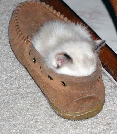 Eine kleine Katze hat es sich in einem Schuh gemütlich gemacht.