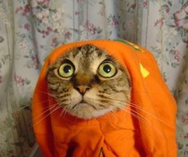 Oranje Katze