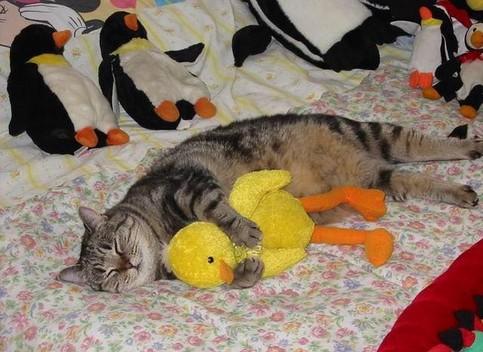 Eine Katze kuschelt sich an eine Plüsch-Ente.