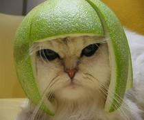 Helmkatze