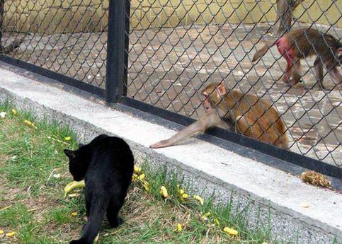Ein Affe will eine Banane haben, die eine Katze beschnüffelt.