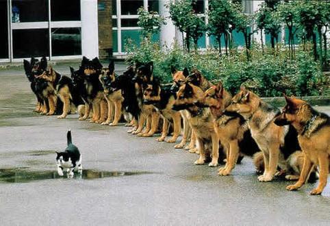 Eine Katze läuft vor vielen Hunden entlang.