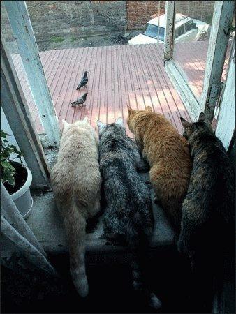 Vier Katzen beobachten aus einem Fenster zwei Tauben.