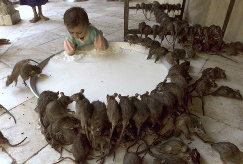 Ein Kind streckt seine Hände in einen Bottich mit Milch, viele Ratten trinken von der Milch.
