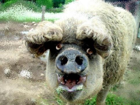 Ein merkwürdiges Schwein.