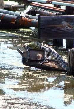 Ein Krokodil liebt eine Schildkröte.