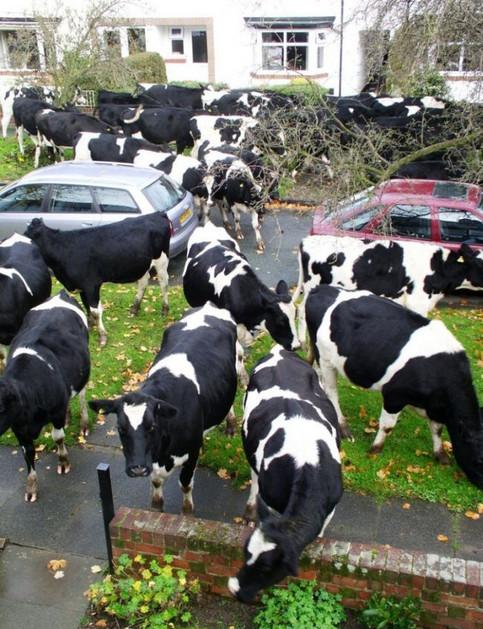 Eine Menge Kühe in einer Strasse.