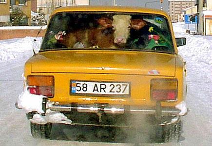 Eine Kuh wird auf der Rückbank eines PKWs transportiert.