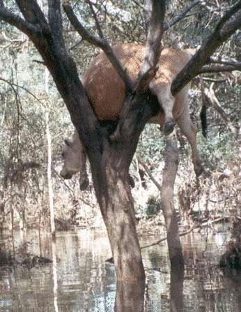 Eine Kuh hängt in einem Baum.